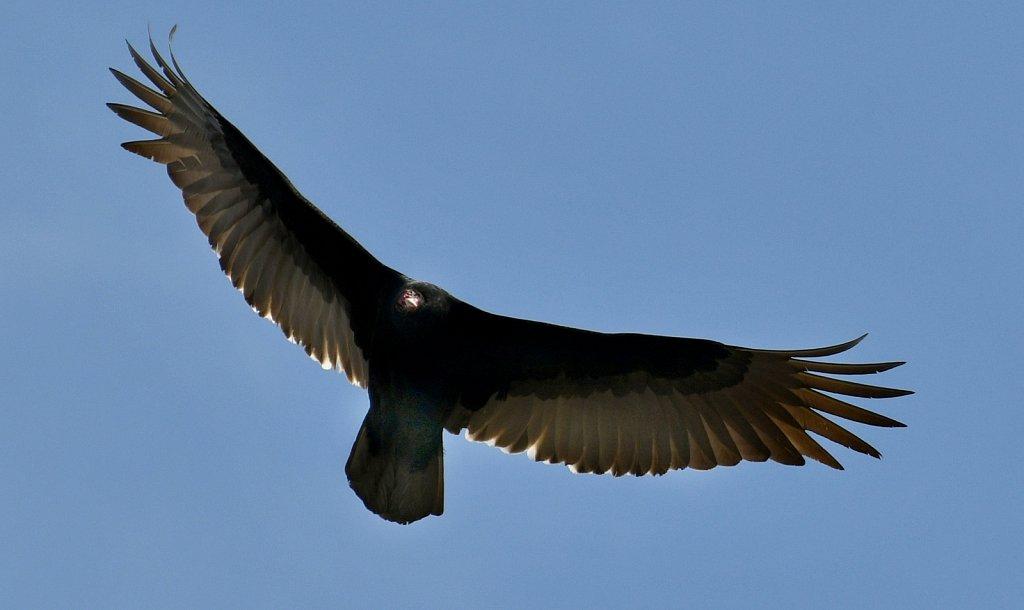 Turkey-Vulture-0610.JPG