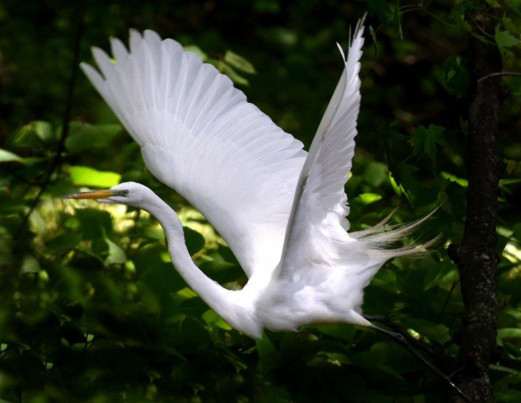 Great-Egret-in-flight-2264.JPG