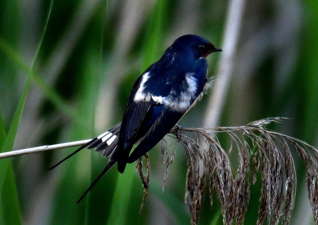 Barn-Swallow-2329.jpg