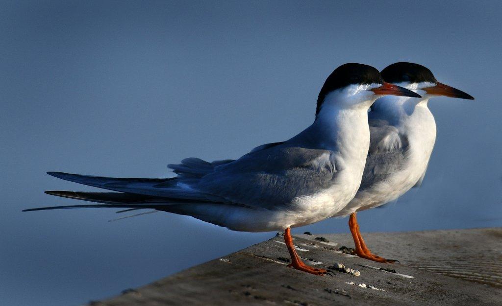 Foaster-Tern-2309-copy.jpg
