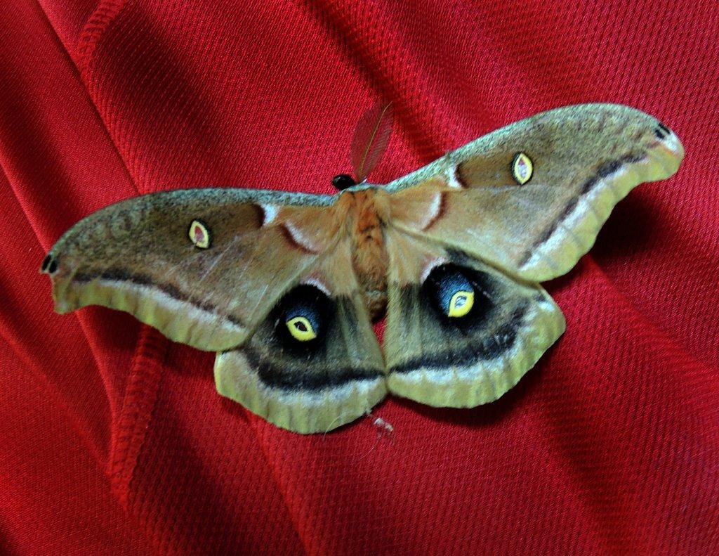 Polyphemus-Moth-3372.JPG