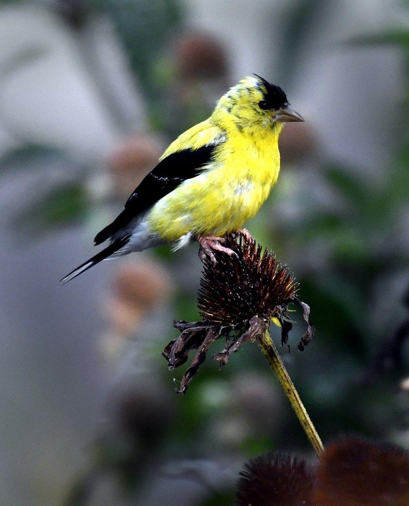 Goldfinch-male-4586.JPG