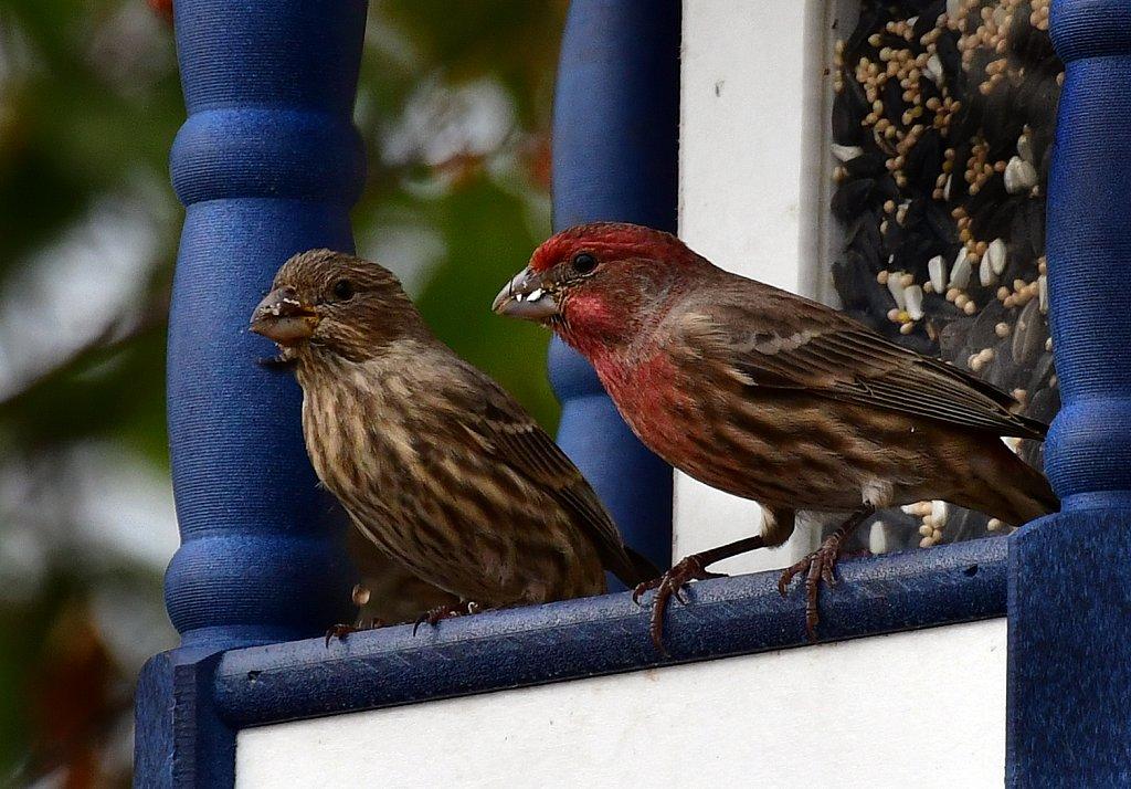 RG8-8402-House-Finch-Female-Male.jpg