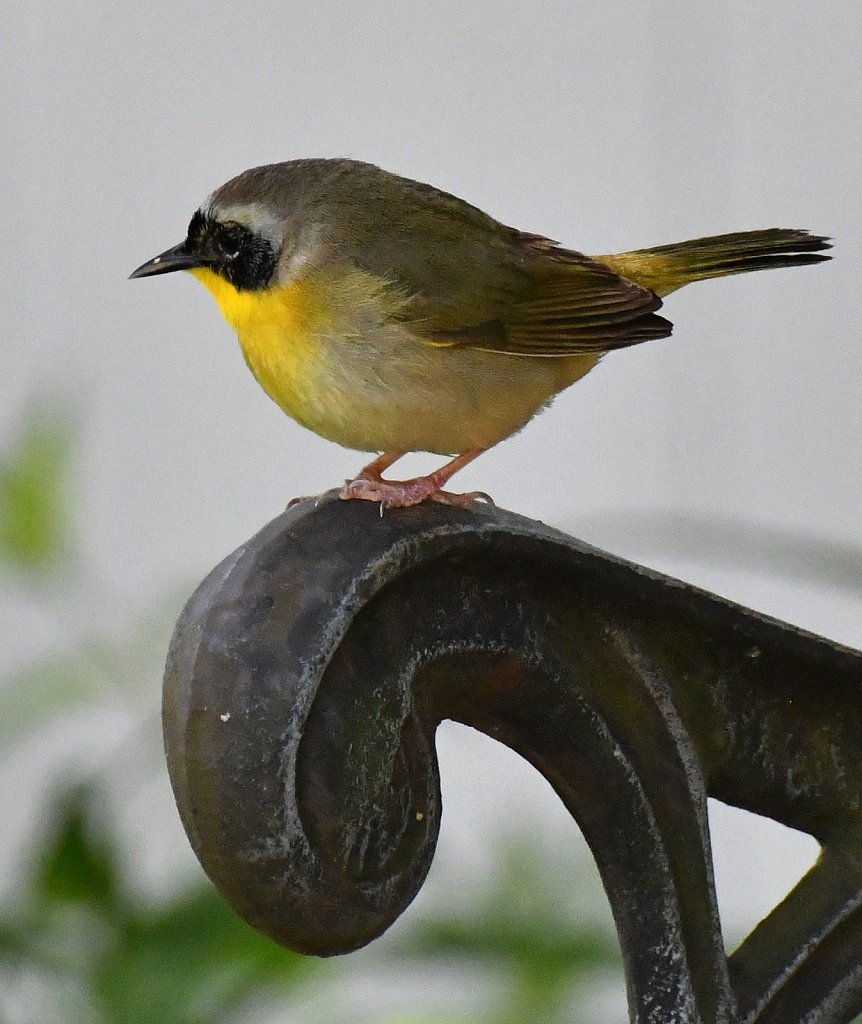 Yellowthroated-Warbler-6944-copy.jpg