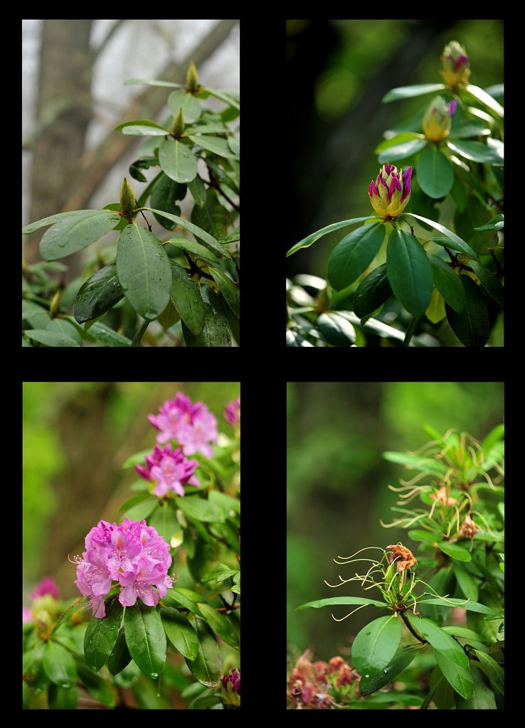 Rhododendrons-x4-a-7x10.jpg