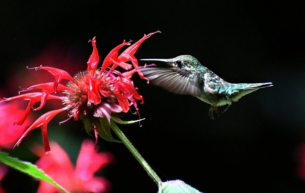 Humming-Bird-1740-Copy.JPG
