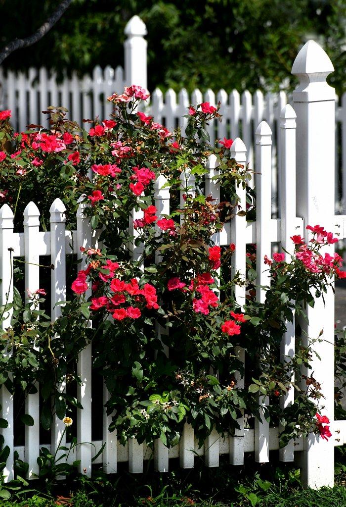 White-Fence-Roses-3-2256-copy.jpg