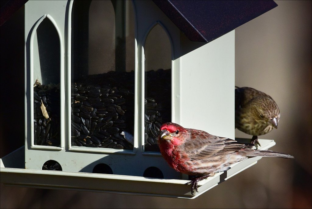 House Finch (Male & Female)