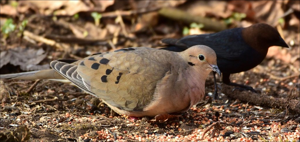 Mourning Dove and Black-headed Cowbird