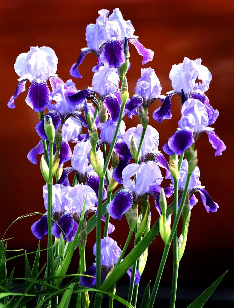 BEST-Iris-0456bjpg.jpg