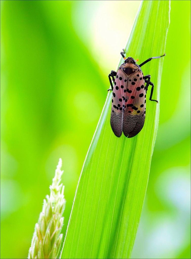 WARNING!! Spotted Lanernfly - NVASIVE